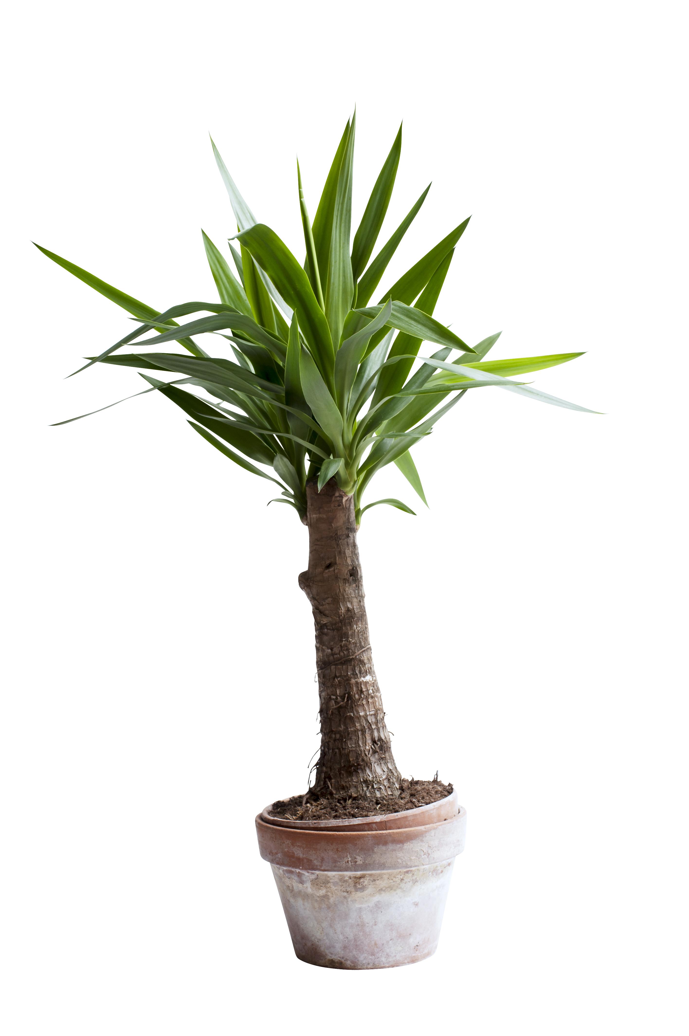 Le yucca a chaque mois sa plante janvier 2015 office des fleurs - Yucca pied d elephant ...