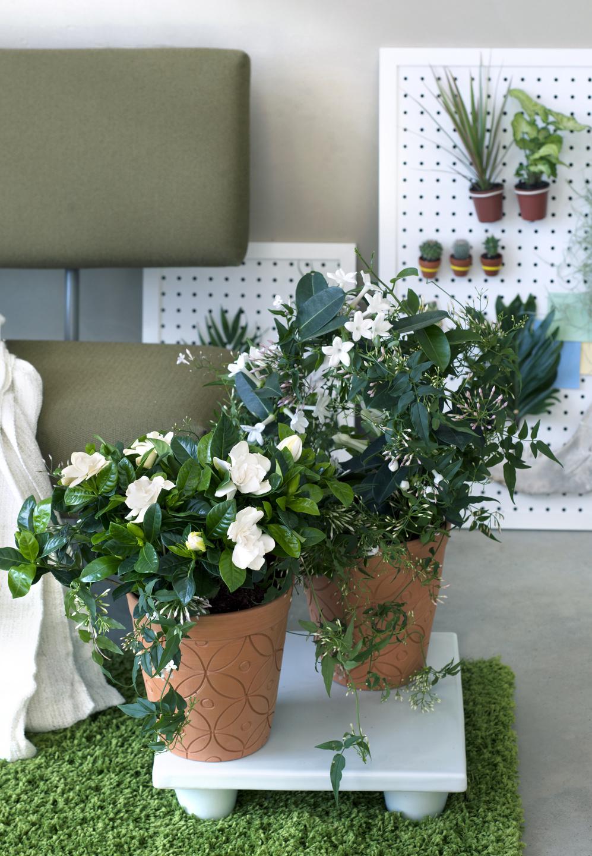 a chaque mois sa plante mars 2016 les fleurs blanches parfum es office des fleurs. Black Bedroom Furniture Sets. Home Design Ideas