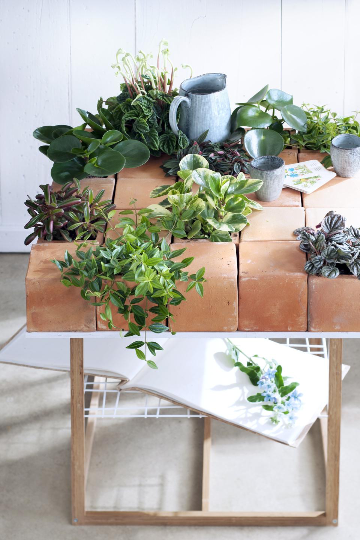 Download image Le Peperomia est la plante