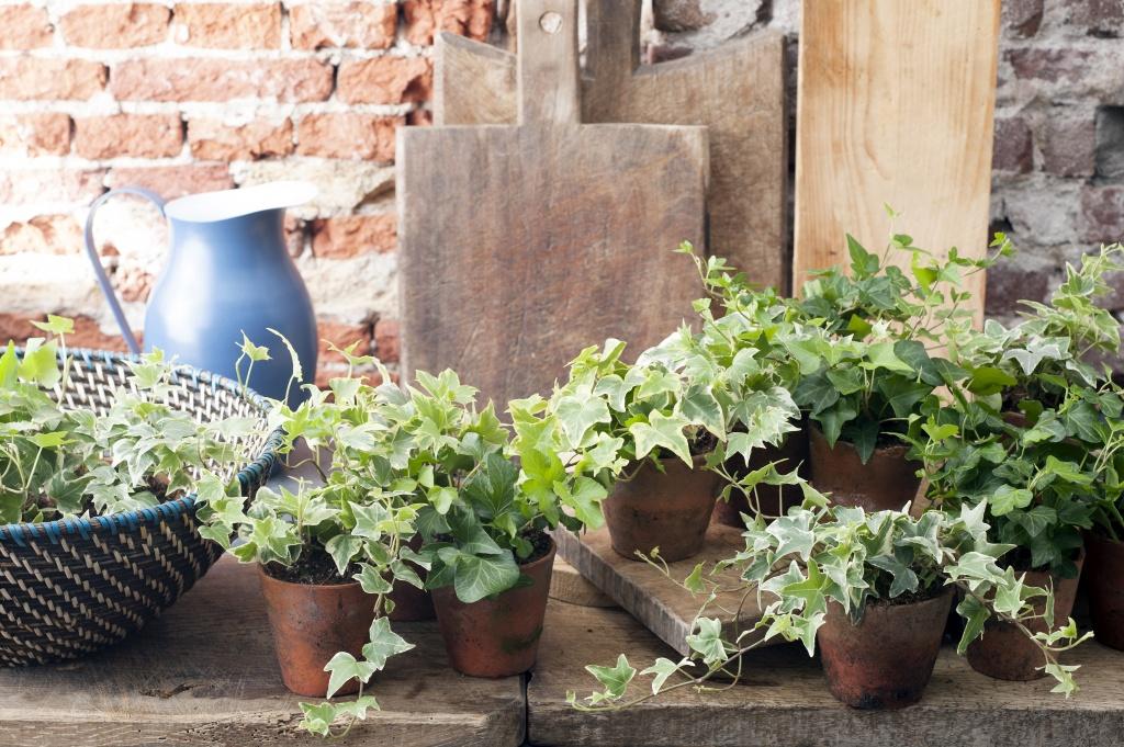 A chaque mois sa plante avril 2015 le lierre office for Plante 6 mois