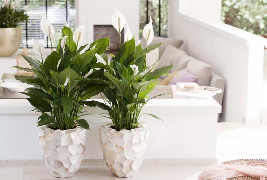 le spathiphyllum plante du mois de juin a chaque mois. Black Bedroom Furniture Sets. Home Design Ideas