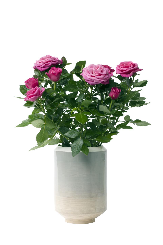 le rosier en pot est la plante du mois de juillet 2016 office des fleurs. Black Bedroom Furniture Sets. Home Design Ideas
