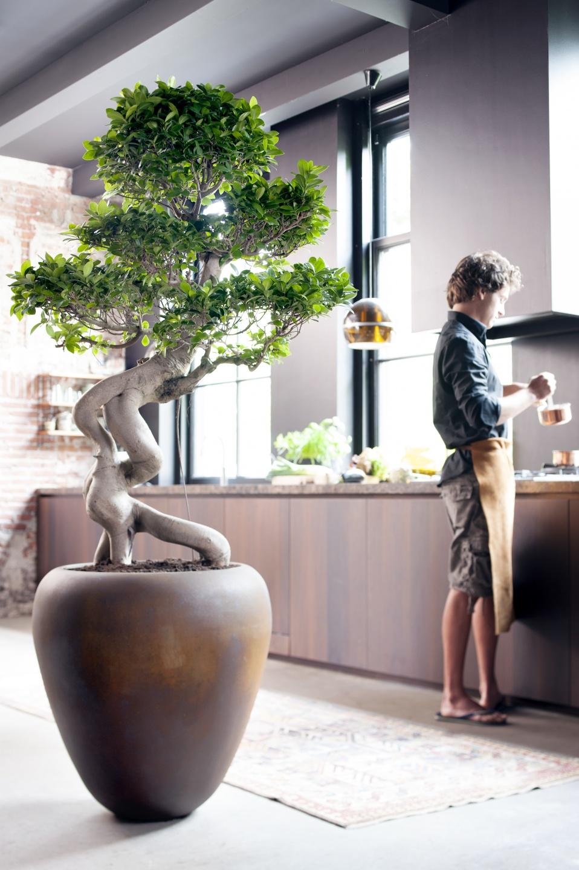 A Chaque Mois Sa Plante juillet 2015: le Ficus Ginseng | Office ...
