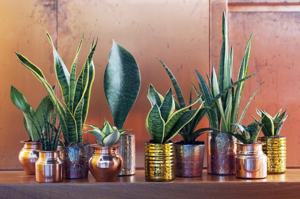 Le sansevieria plante du mois d ao t a chaque mois sa for Plante 6 mois