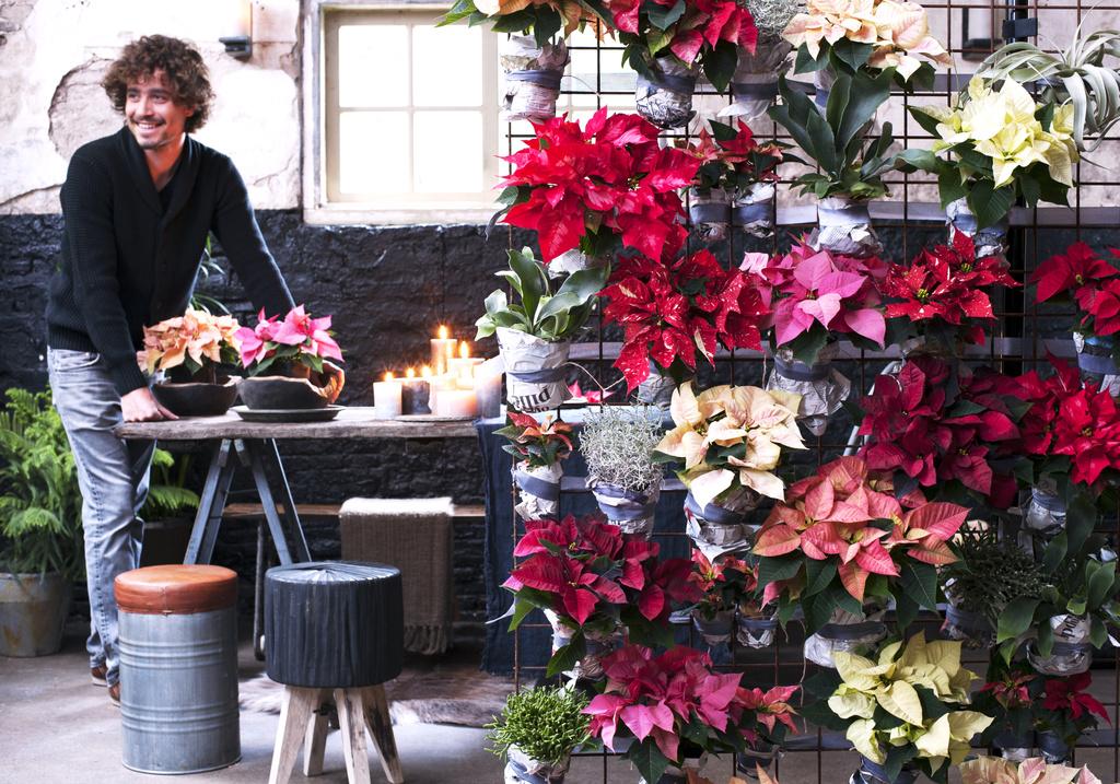 Le poinsettia plante du mois de novembre a chaque mois sa plante office - Office hollandais des fleurs ...