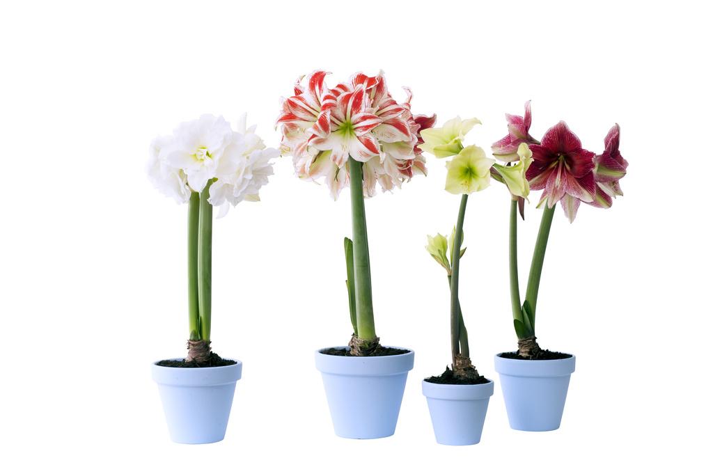 amaryllis plante