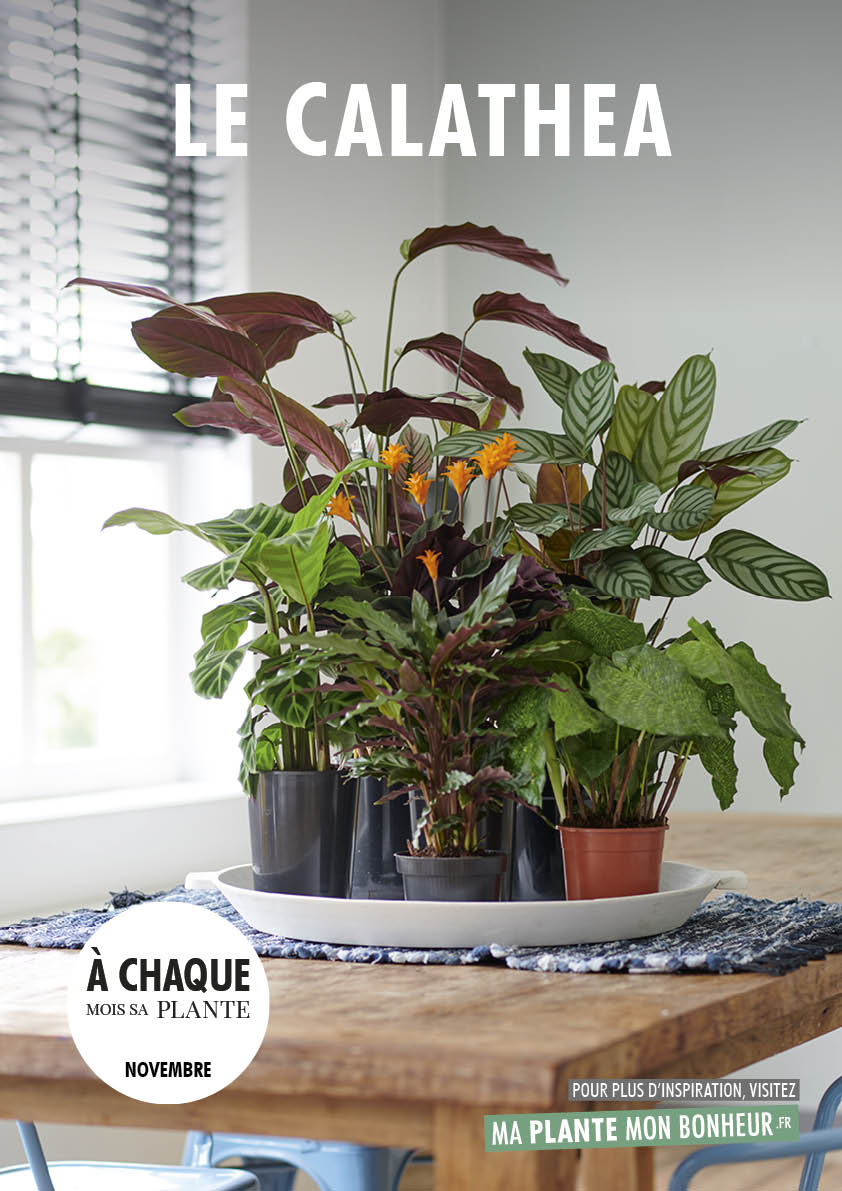 A chaque mois sa plante, novembre 2019 : le Calathea