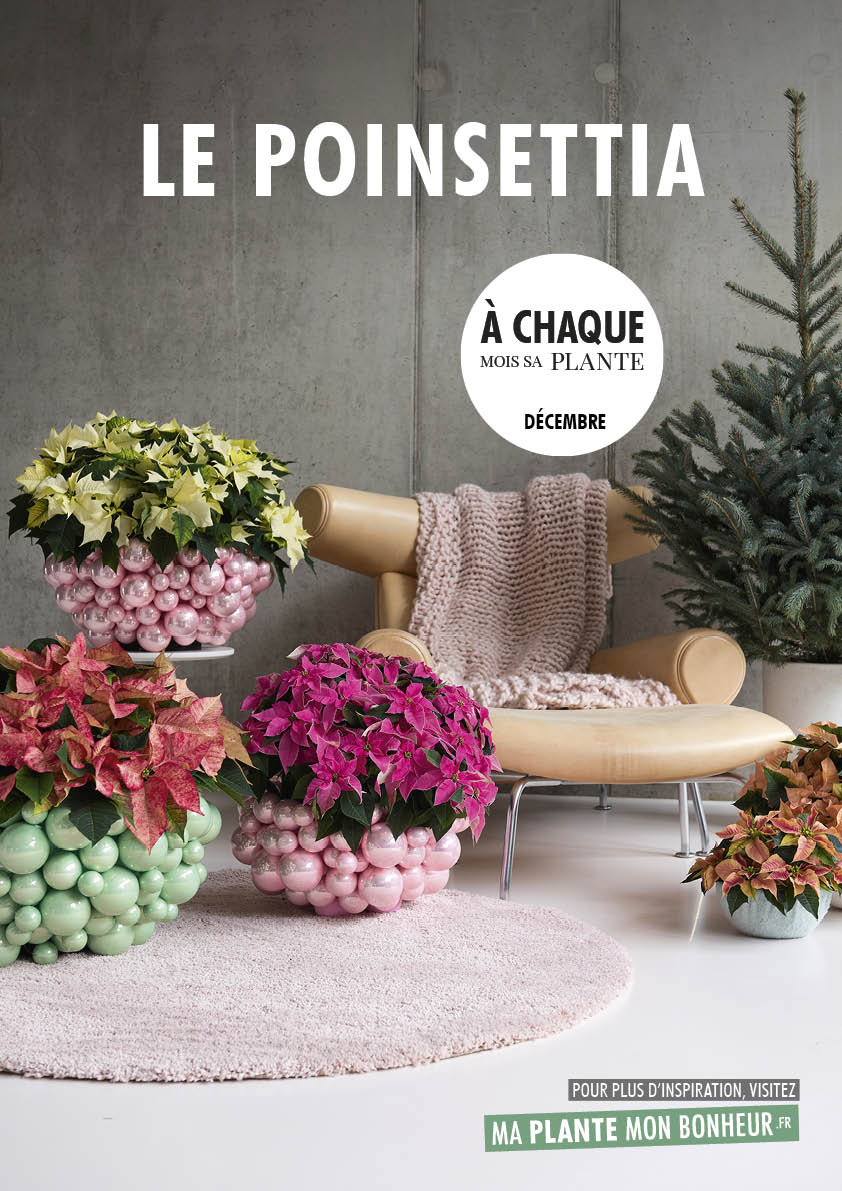 A chaque mois sa plante, décembre 2019 : le Poinsettia