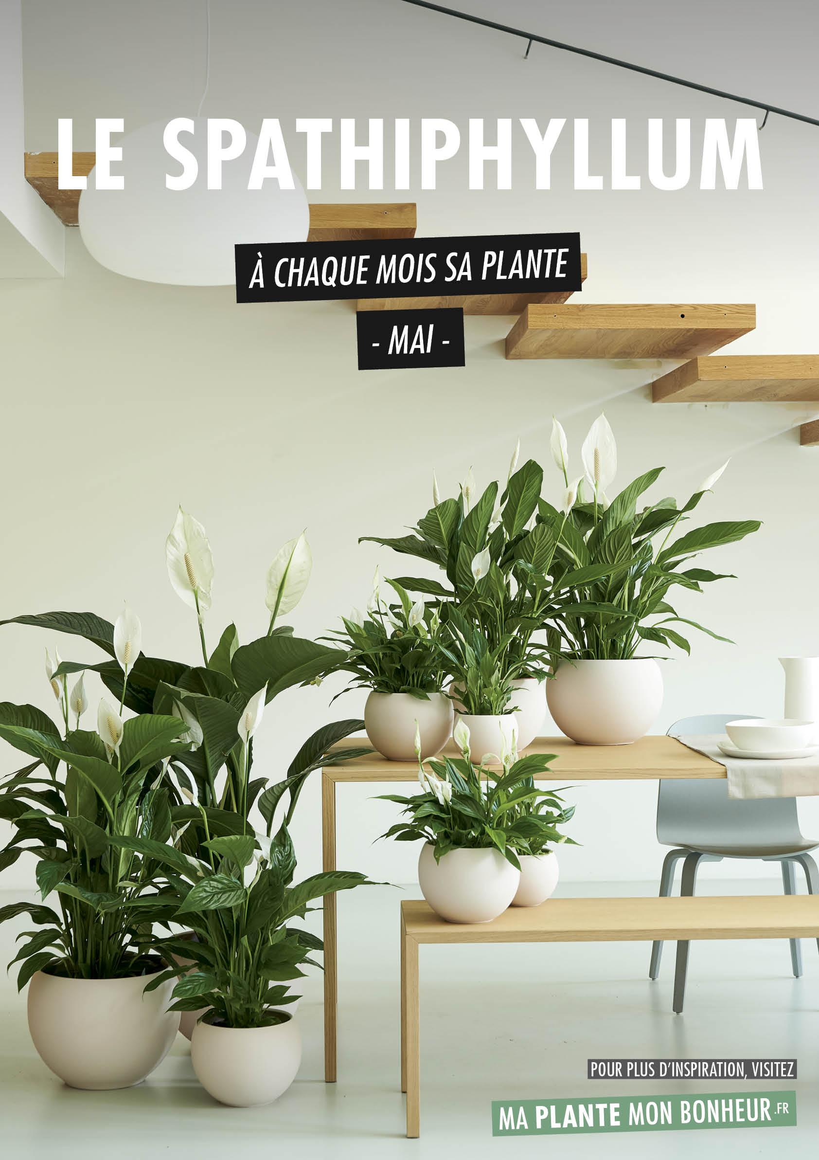 À chaque mois sa plante, mai : le Spathiphyllum