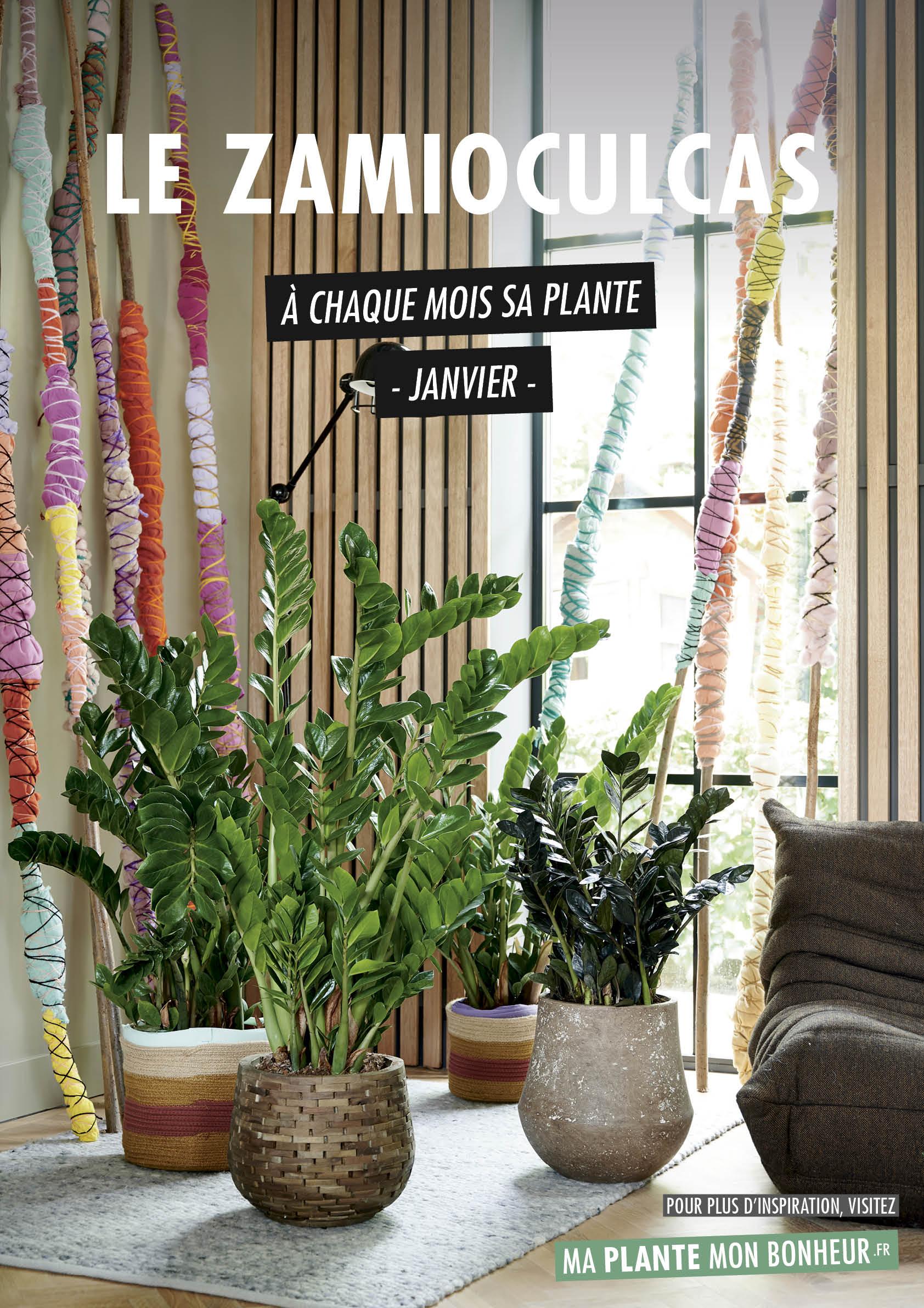 A chaque mois sa plante, janvier 2020 : le zamioculcas