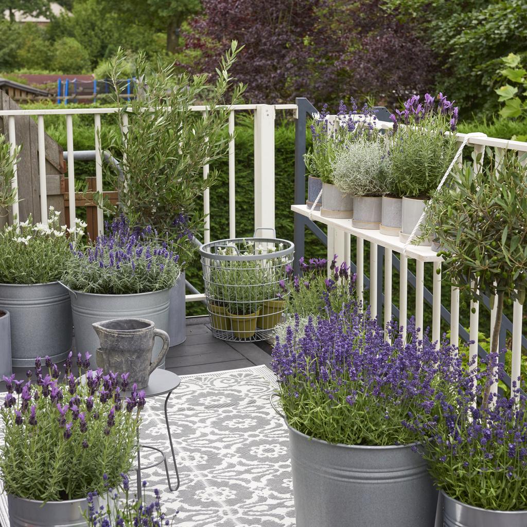 Quelle Plante En Pot Pour Terrasse plante de balcon de l'année 2018 : la lavande | office des