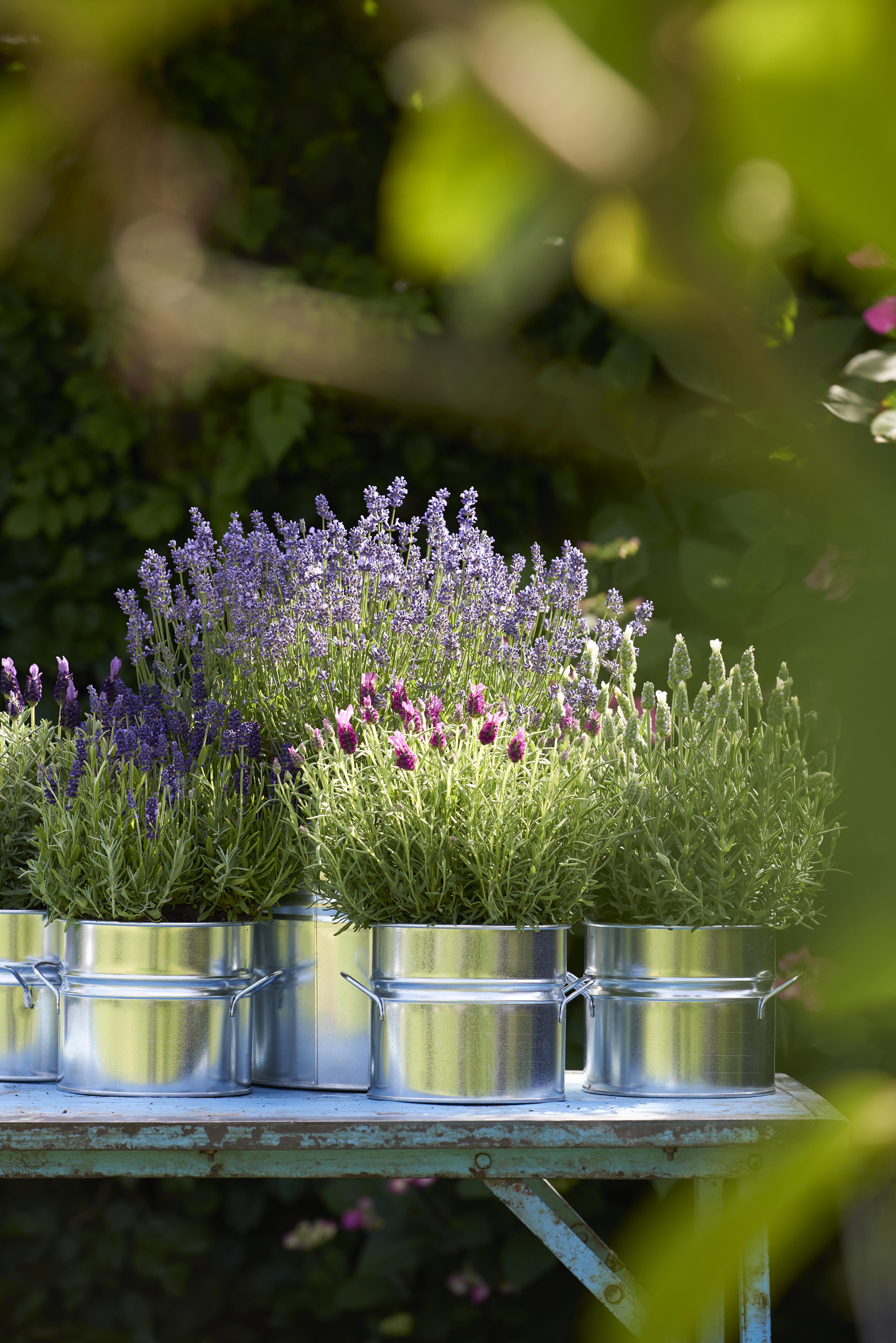 Planter Un Lilas En Pot plante de balcon de l'année 2018 : la lavande   office des
