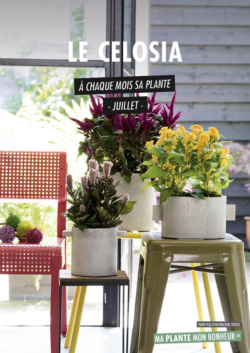 À chaque mois sa plante, juillet 2019 : le Celosia