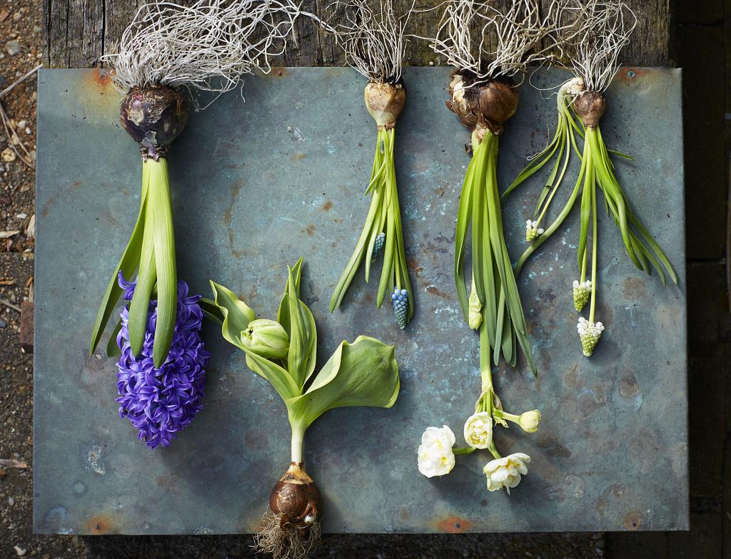 Plantes de jardin du mois de f vrier les bulbes for Entretien jardin mois de fevrier