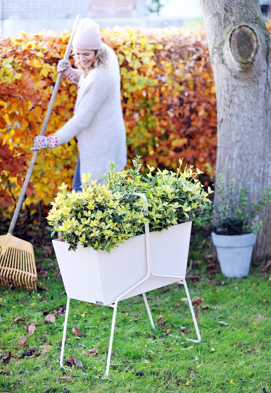 plante de jardin du mois de novembre l osmanthus office des fleurs. Black Bedroom Furniture Sets. Home Design Ideas