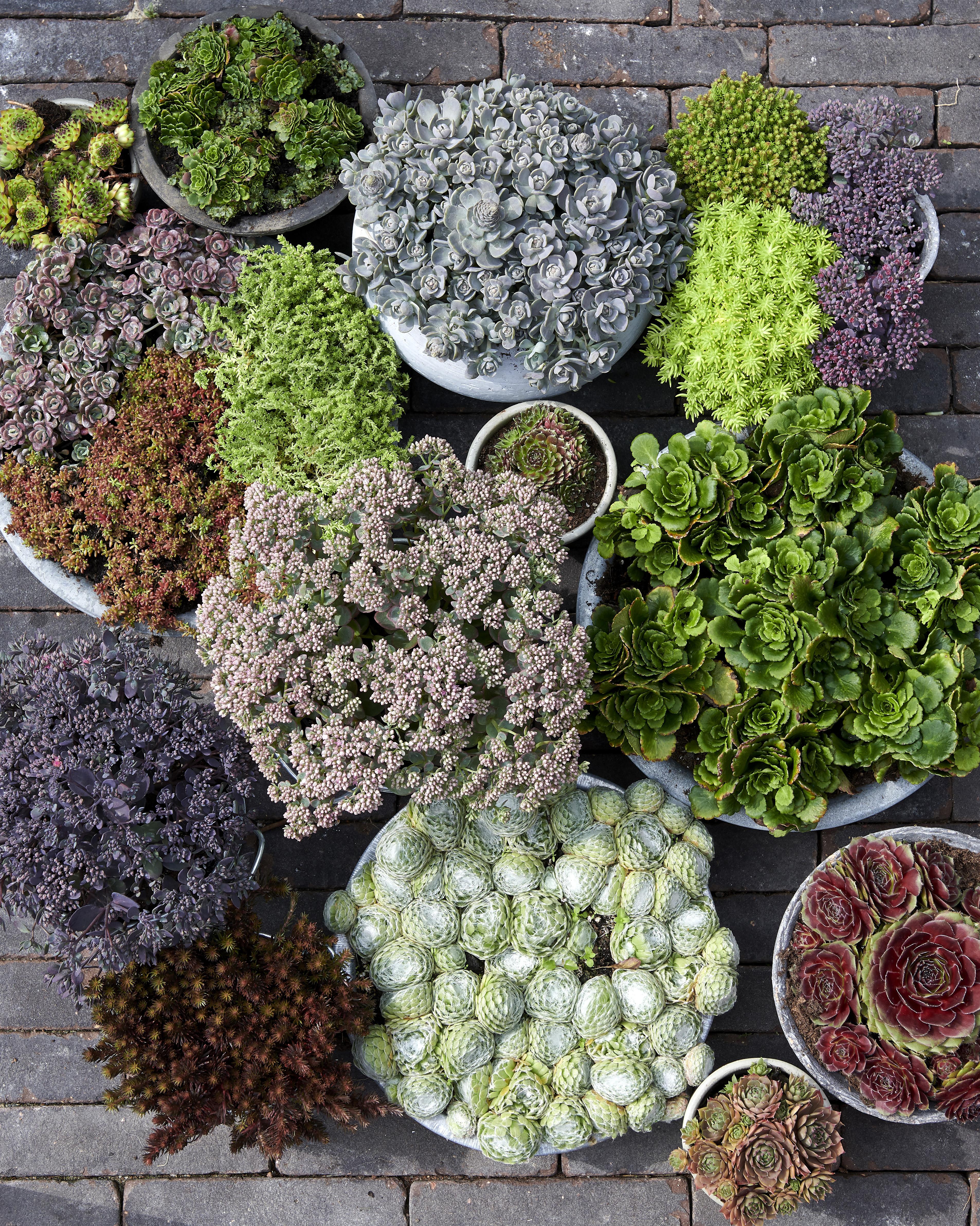 Groene Dakbedekkers, Tuinplant van de maand oktober 2019