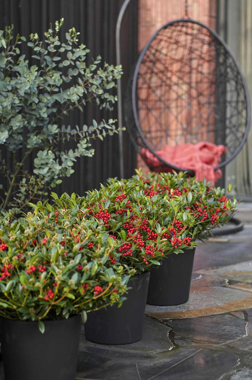 plante de jardin du mois novembre 2018 skimmia office des fleurs. Black Bedroom Furniture Sets. Home Design Ideas