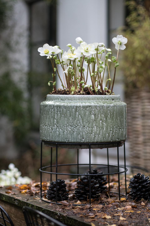 Hellebore Rose De Noel Entretien plante de jardin du mois, décembre 2018 : la rose de noël