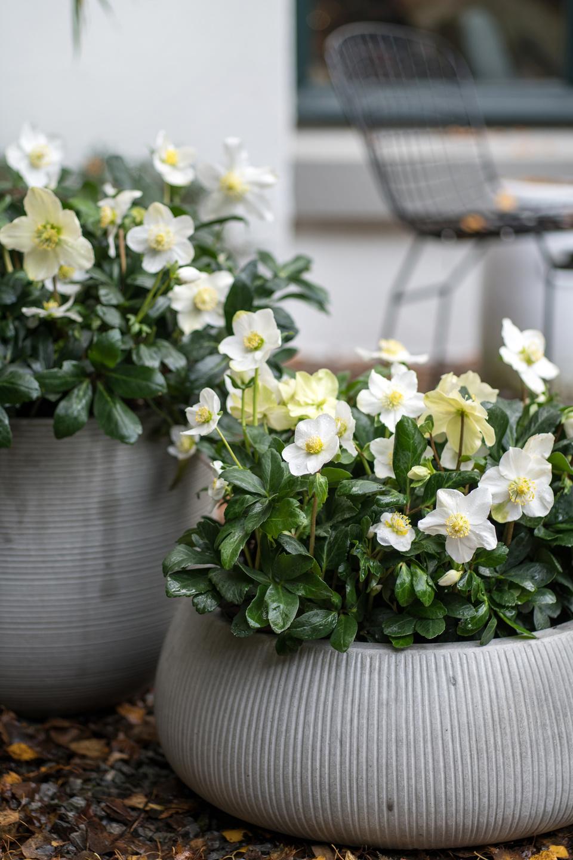 Hellebore Rose De Noel Entretien plante de jardin du mois décembre 2018 : la rose de noël