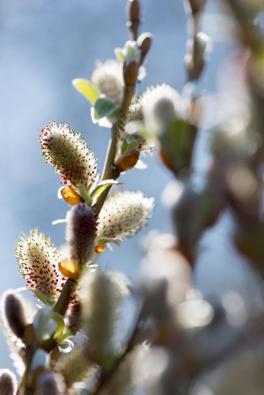 Plante de jardin du mois f vrier le saule salix for Plante 6 mois