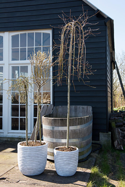Plante de jardin du mois f vrier le saule salix for Entretien jardin mois de fevrier