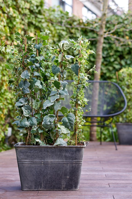 Plante de jardin du mois de mars le lierre hedera for Plante jardin