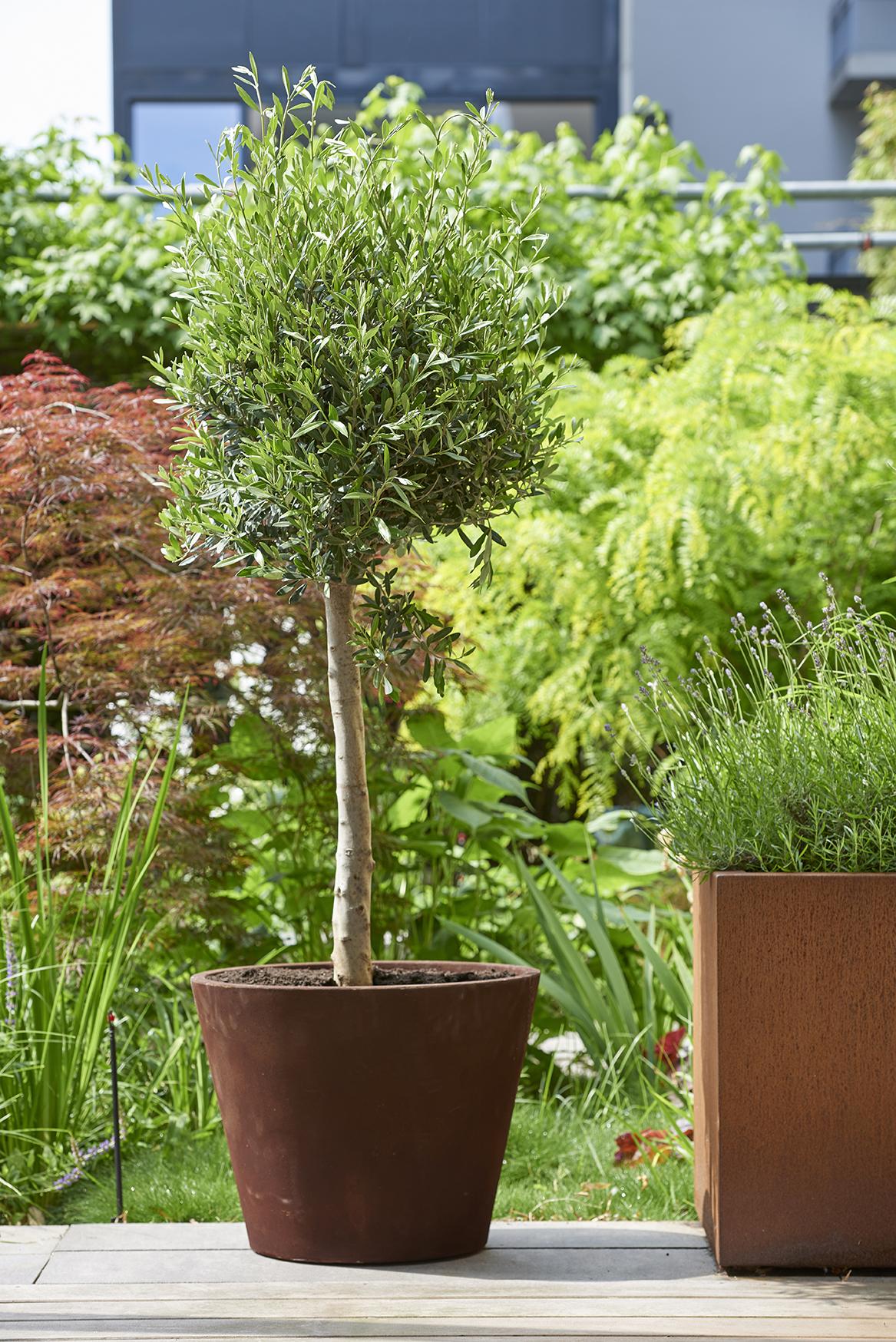 Plante de jardin du mois juillet 2018 l 39 olivier office for Plante un olivier