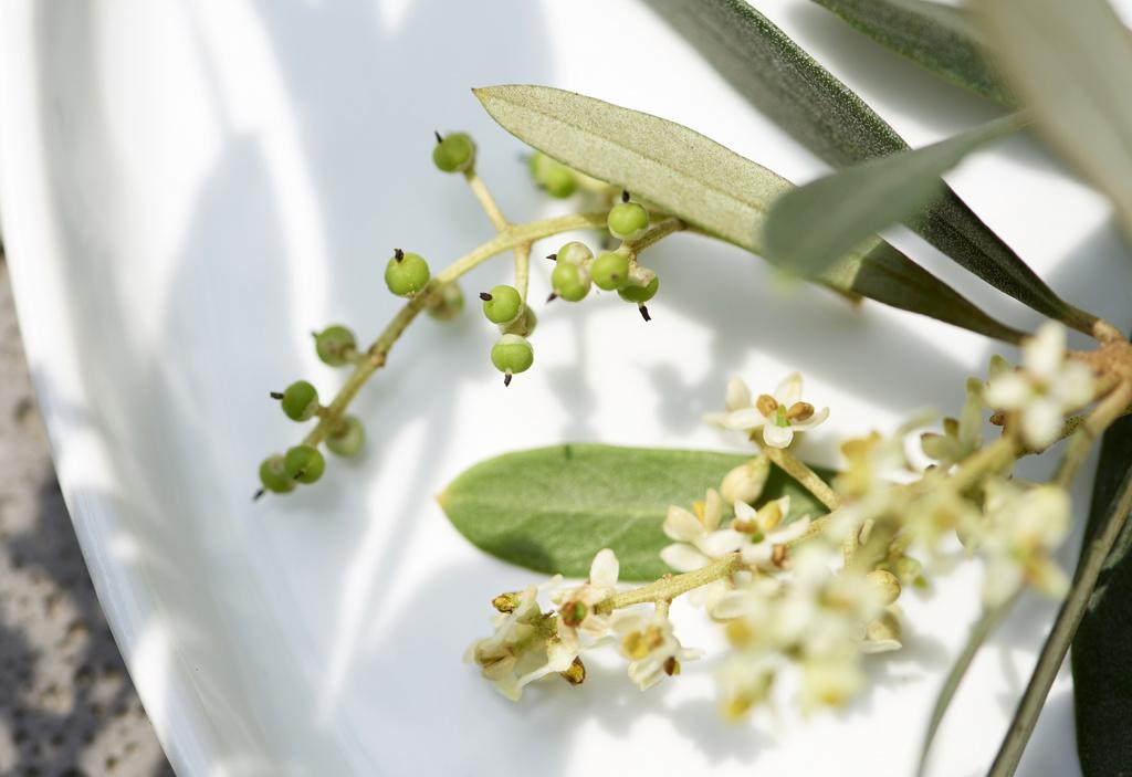 Plante de jardin du mois juillet 2018 l 39 olivier office for Plante 6 mois