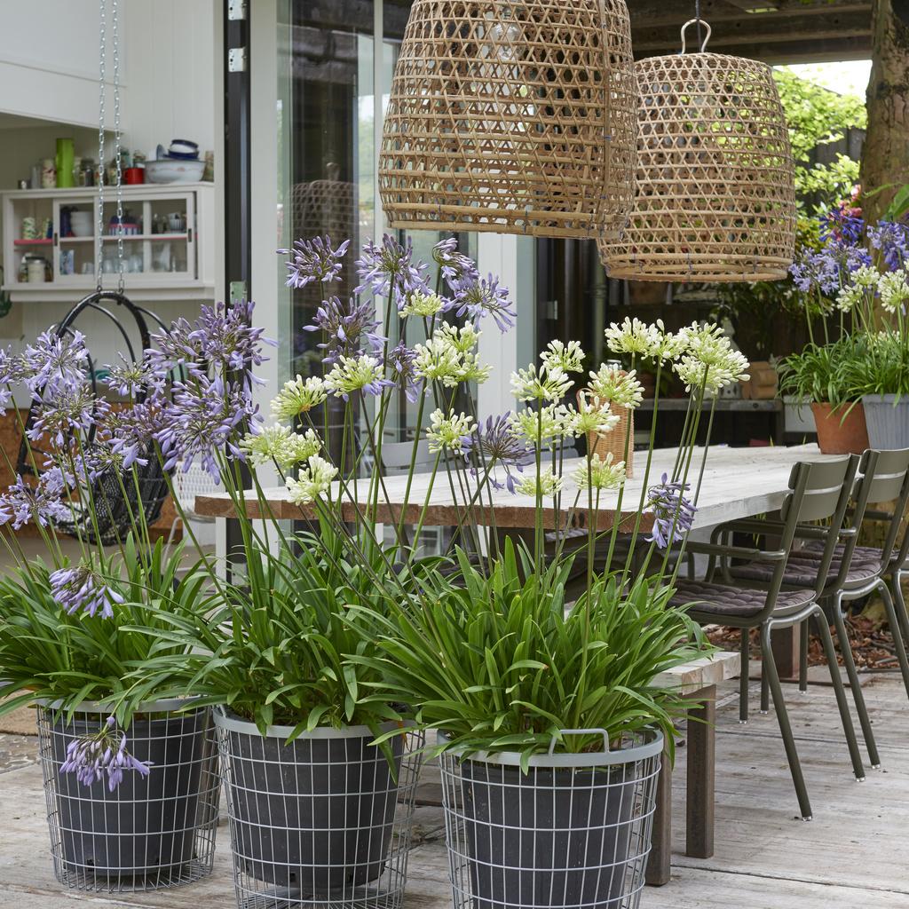plante de terrasse de l ann e 2018 l agapanthe office des fleurs. Black Bedroom Furniture Sets. Home Design Ideas