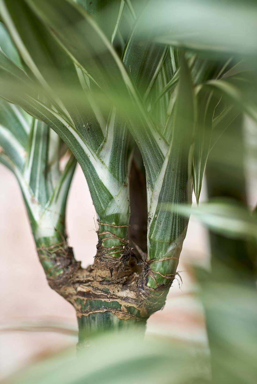 Le dracaena a chaque mois sa plante janvier 2018 for Plante 6 mois